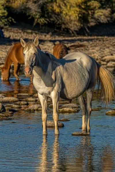 Salt River Mustang Mare Grazing in the Salt River