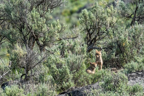 A pair of curious coyote cubs play outside their den