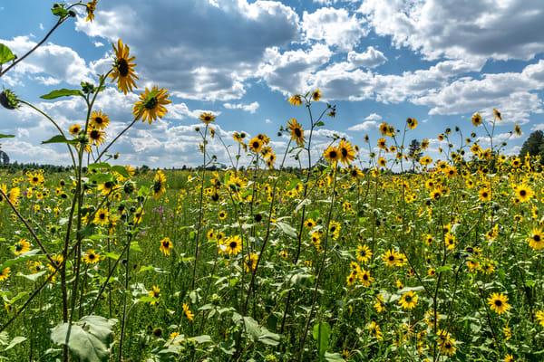 Field of sunflowers in Flagstaff Arizona