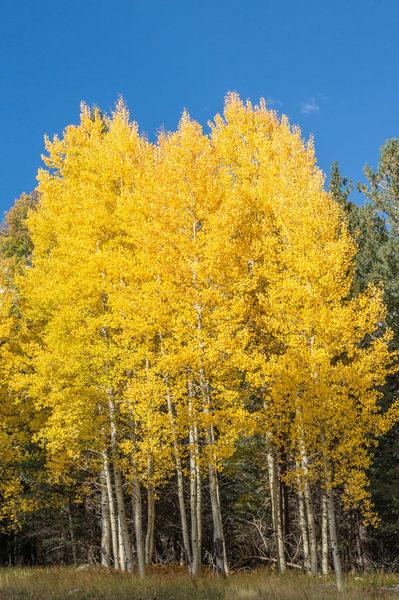 Autumn Gold Fall Colors