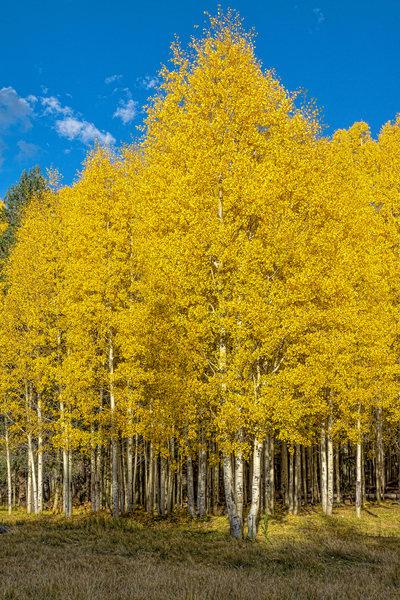 Aspen Gold Fall Colors