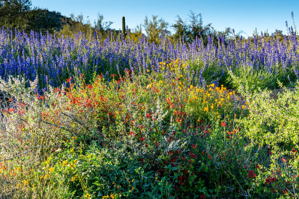 lupine and chuparosa in the Sonora Desert