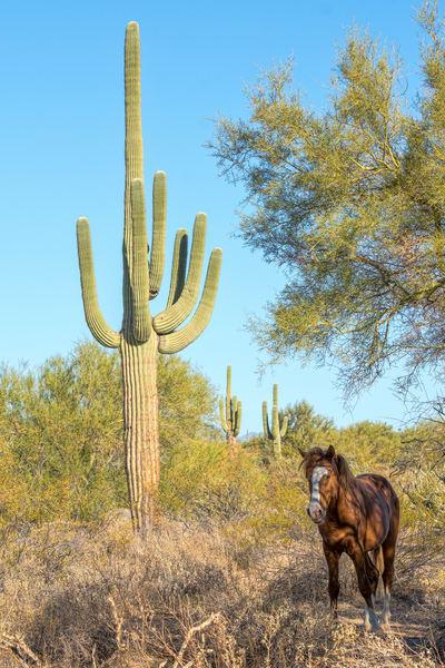 Desert Stallion and giant saguaro