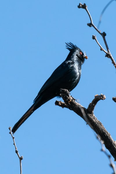 Phainopepla with Insect