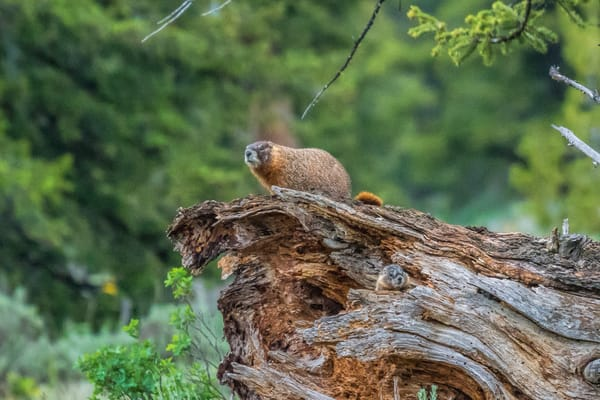 Mother Marmot and Pup