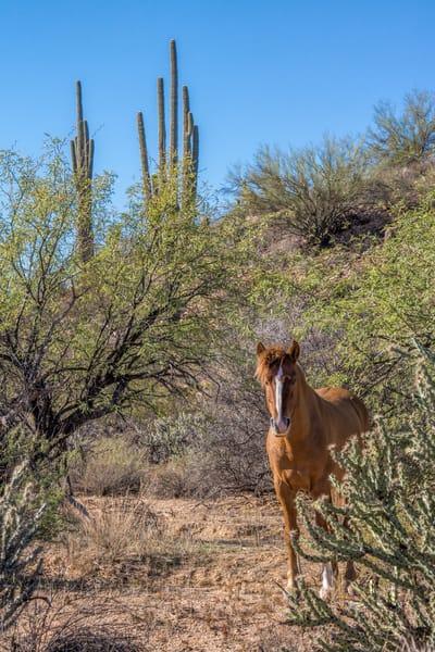 Salt River Wild Stallion in the Desert