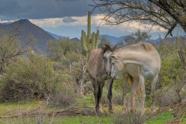 Pair of affectionate salt river wild horses