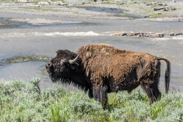 Bison Bull at Yellowstone National Park