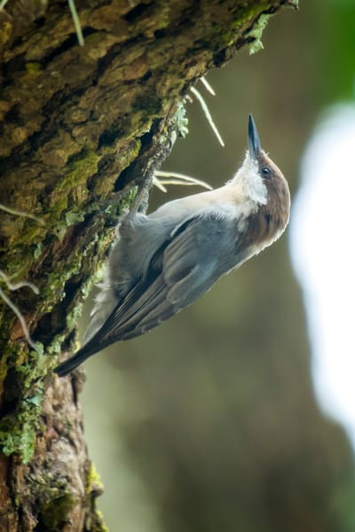 Brown Headed Nuthatch on a Pine Tree