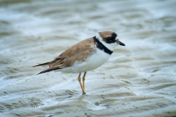 Semipalmated Plover in Mud Flats at Beach