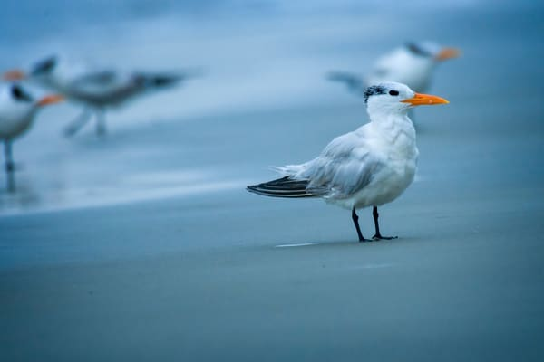 Royal Tern on Beach at Dawn