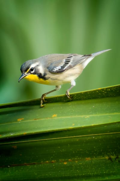 Yellow Throated Warbler on a Palm Leaf
