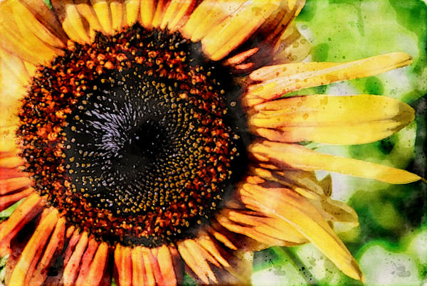 Sunflower Closeup Watercolor