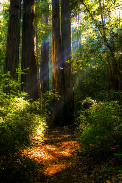 Redwood Trail Photography Art | FocusPro Services, Inc.