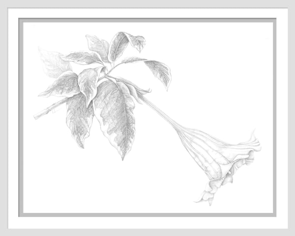 Brugmansia suoveolens variegata is a graphite drawing. Options include matting and framing.