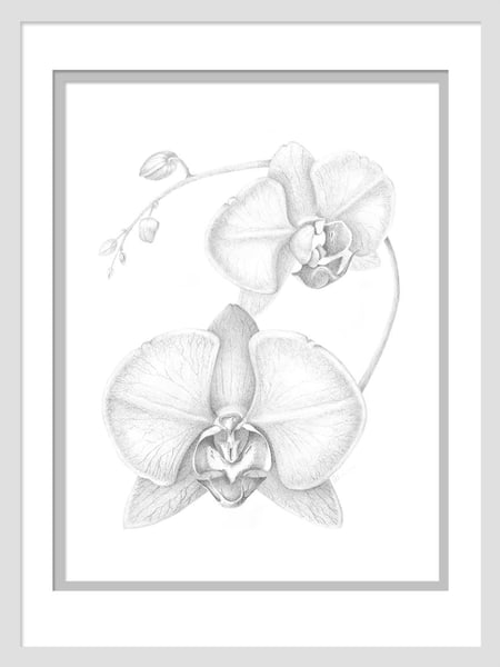 Phalaenopsis Sprig is a graphite drawing. Options include matting and framing.