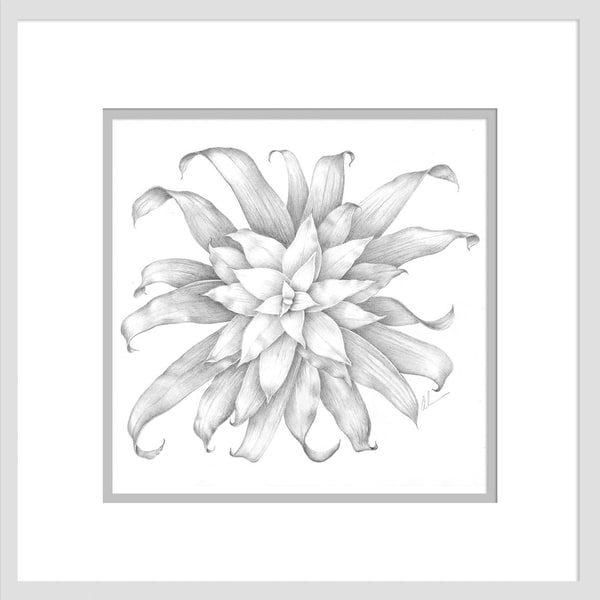 Bromeliad guzmania is a graphite drawing. Options include matting and framing.