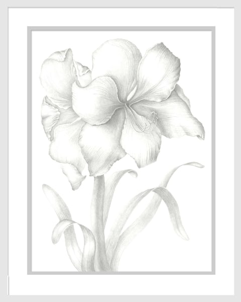 Hippeastrum - Amaryllis is a graphite drawing. Options include matting and framing.