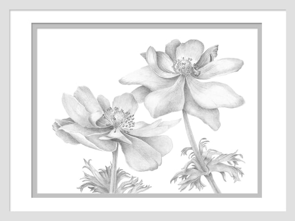 An Anemone Duet is a graphite drawing. Options include matting and framing.