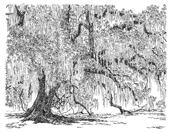 fontainebleau oak, northshore, new orleans:  fine art prints in elegant pen available for purchase online