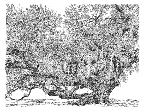 live oak tree, westbank, new orleans:  fine art prints in elegant pen available for purchase online