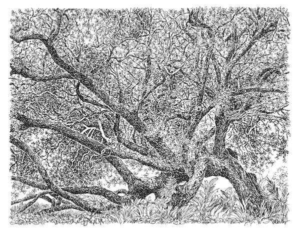 live oak, jungle gardens, avery island, louisiana:  fine art prints in elegant pen available for purchase online