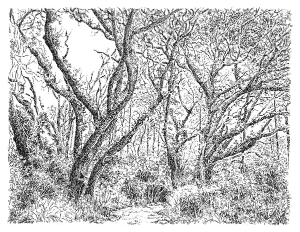 sand live oaks (sandy pathway), big talbot island (A1A), florida:  fine art prints in elegant pen available for purchase online