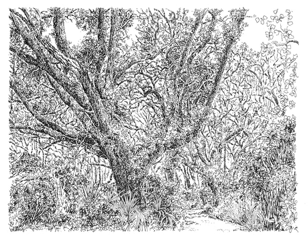 sand live oaks (big leaning oak), big talbot island (A1A), florida:  fine art prints in elegant pen available for purchase online