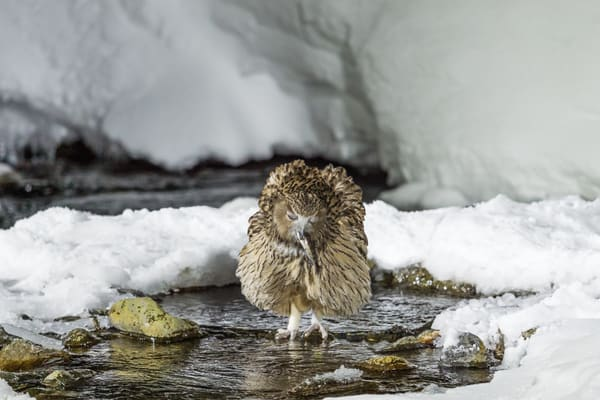 Happy Fish Owl In Rausu Photography Art | Seattle Digital Photography