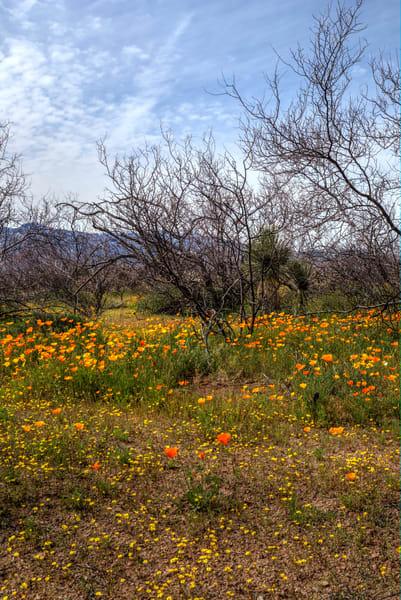 Super Bloom in the High Desert