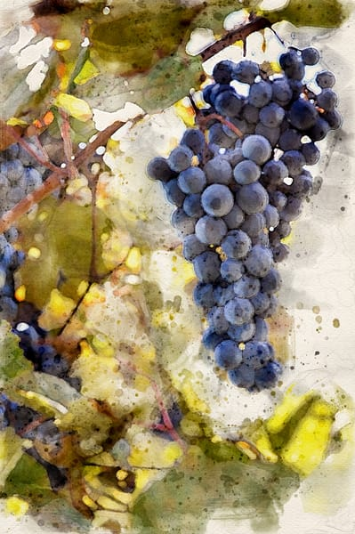 Grapes on the Vine Watercolor