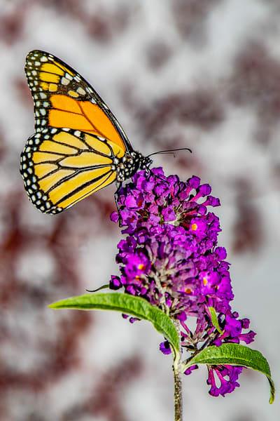 Monarch Motion Photography Art   David Lawrence Reade