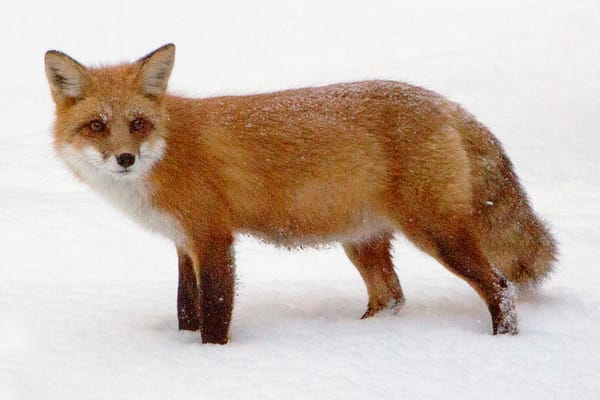 Red Fox Photography Art   David Lawrence Reade