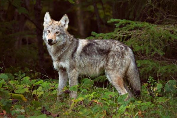 The Elusive Timber Wolf Photography Art   David Lawrence Reade