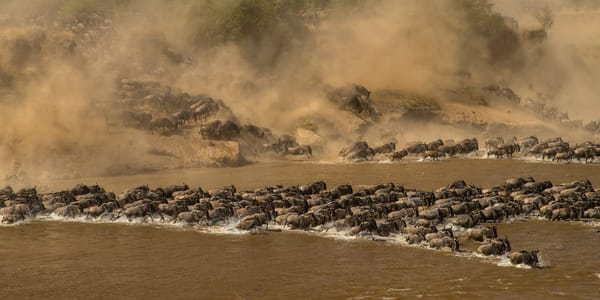 Collector's print of The Mara River Crossing on Archival Aluminum.