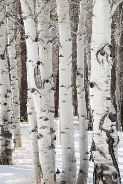 Aspens In Winter Photography Art | Greg Starnes Phtography