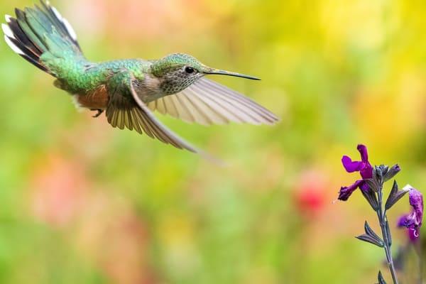 2021 Hummingbirds Of Colorado | Enigma Fotos