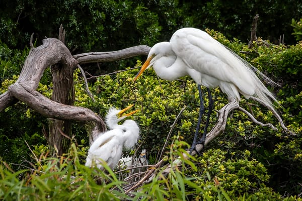 Great Egrets Love