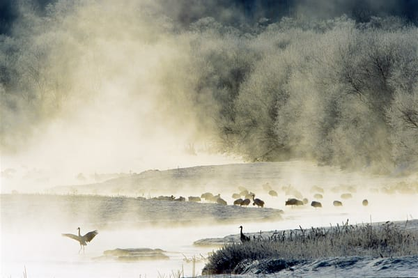 Red-crowned cranes in the morning mist of Hokkaido Japan.