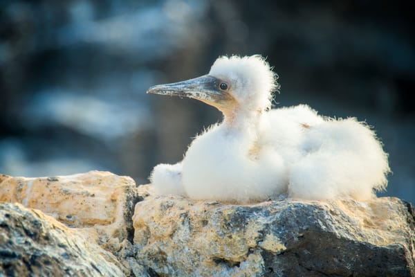 Juvenile Nazca Booby Sitting on Rock