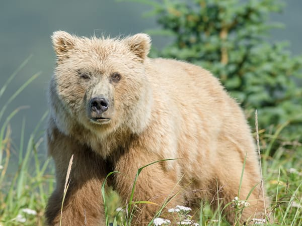 Female Brown Bear In Flowers Art | Alaska Wild Bear Photography