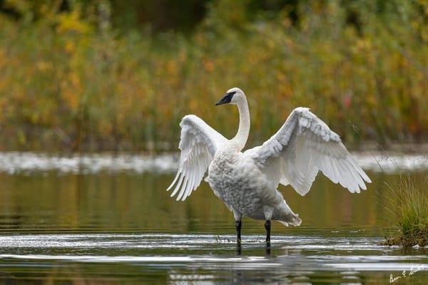 Wings Of A Swan   2022 Art | Alaska Wild Bear Photography