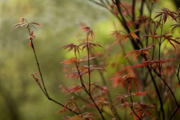 Maple Glory  Photography Art | Carol's Little World