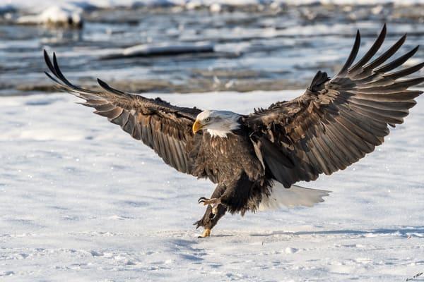 On The Wings Of An Eagle Art | Alaska Wild Bear Photography