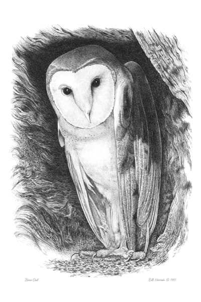 Barn Owl drawing by Bill Harrah, Wolf Run Studio