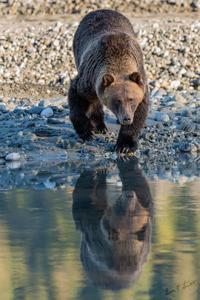 Double Bear Reflection Art | Alaska Wild Bear Photography