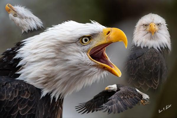 The Many Faces Of An Eagle Art | Alaska Wild Bear Photography