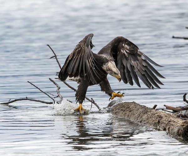 Walking On Water Art | Alaska Wild Bear Photography