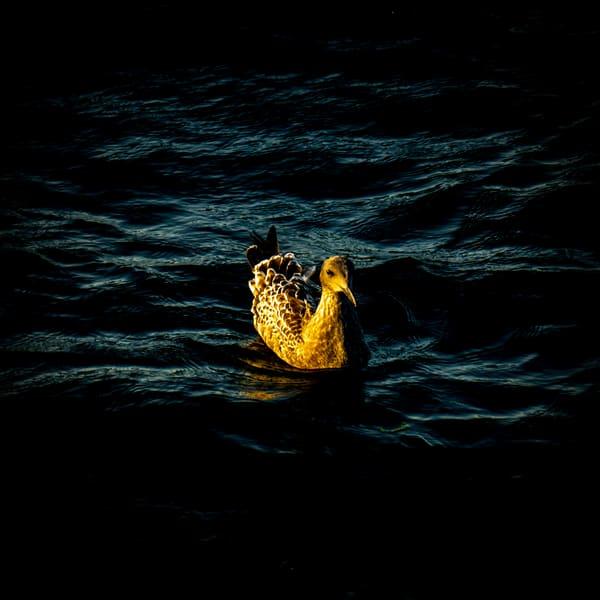 Hi, Ducky Photography Art   Ron Olcott Photography