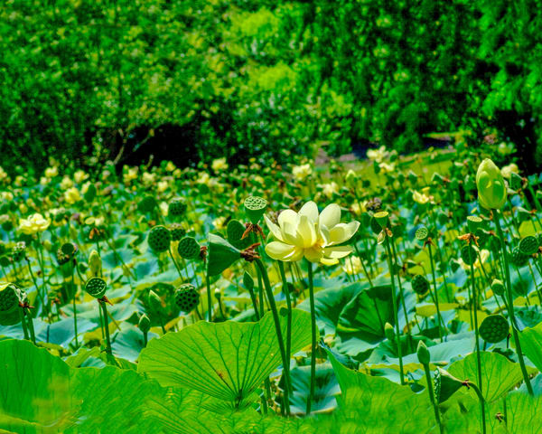 Sea Of Lotus Photography Art | It's Your World - Enjoy!